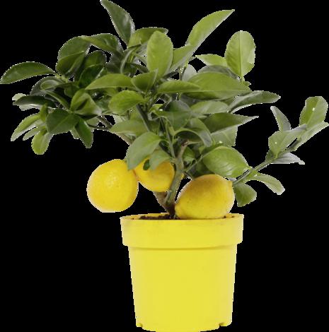 Цитрусово дръвче с плод Ф19