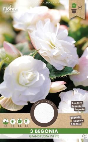 Луковици PURE Бегония Grandiflora бяло
