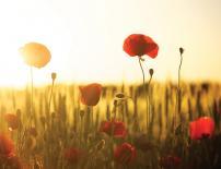 Картина Poppies in the Sunset 45x60 см