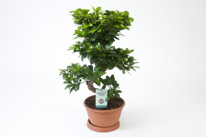 Фикус microcarpa Ginseng ф27, Н:60-70см