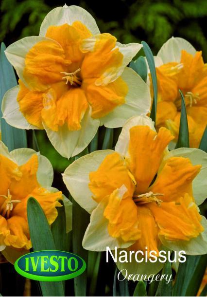 Лукувици нарцис Orangery 12/14, 2бр.