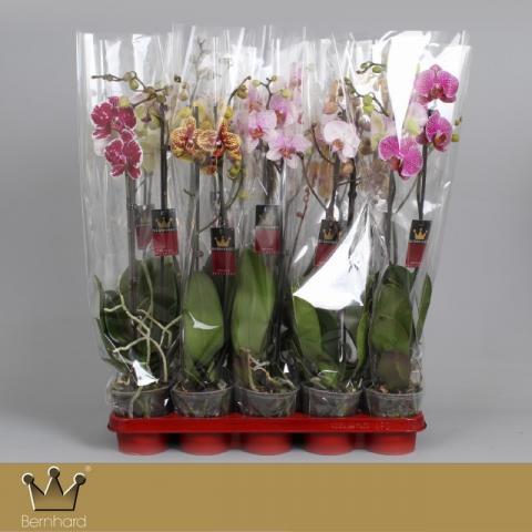 Орхидея Фалаенопсис 'Specials' 2-стеблa,  ф12