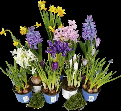 Микс луковични цветя O 9 см