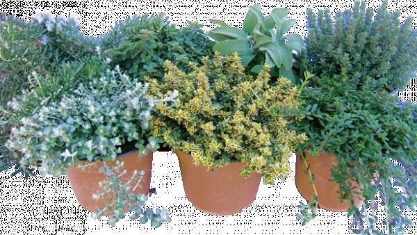 Аром. растения Микс Ф17см