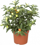Соланум с оранж. плод O11см
