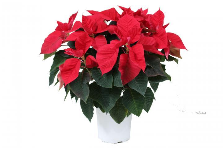 Коледна звезда ф17 см червена