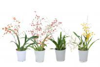 Орхидея Онцидиум Twinkle 'Red Fantasy'