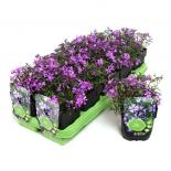 Флокс subulata Purple Beauty  ф11см