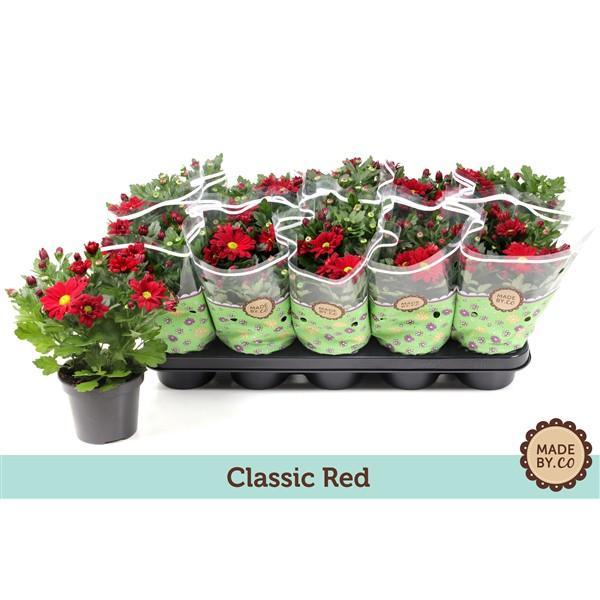 Хризантема indicum Elliot ф12см, класическо червено