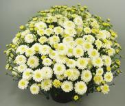 Хризантема ф15см, корона 25 см