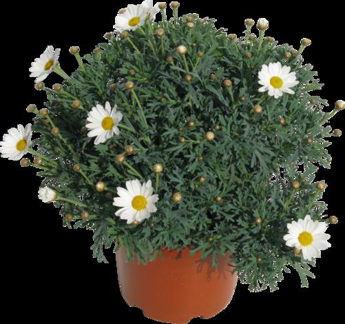 Храстовa хризантема Ф14 см