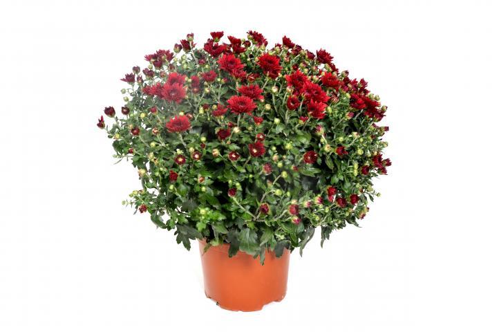 Хризантема ф15см, корона ф20-25 см
