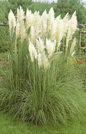 Пампаска трева  3 L