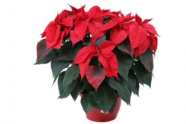 Коледна звезда ф25 см червена