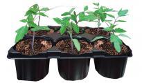 Разсад домат 6бр. Български селектирани сортове