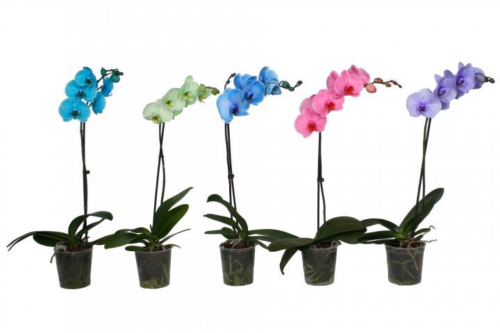 Орхидея Royal ф12, микс цветове