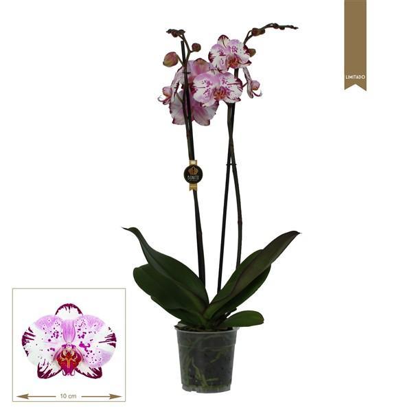 Орхидея Фаленопсис Magic Art