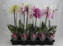 Орхидея Фаленопсис мини микс