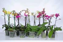 Орхидея Фаленопсис Multiflora 2-стебла, 20+, ф12/H:45
