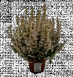 Ерика gracilis бяла