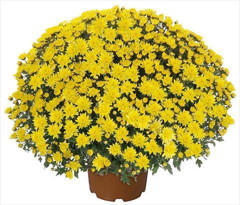 Хризантема, мултифлора ф 24 см 2
