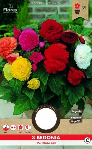 Луковици PURE Бегония Fimbriata различни цветове