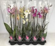 Орхидея Фаленопсис Микс 2 стебла