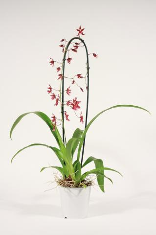 Орхидея Онцидиум Sharry Baby