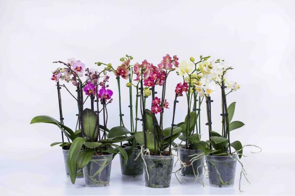 Орхидея Фаленопсис Multiflora mix