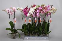 Фаленопсис 2 стебла, Ф12, Н50-70см, микс цвет. 18+