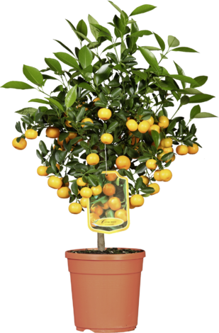 Цитрусово дръвче с плод Ф16