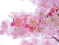 Картина Cherry Blossom 35x45 см