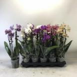 Орхидея Фаленопсис Elegant Cascade ф12 см