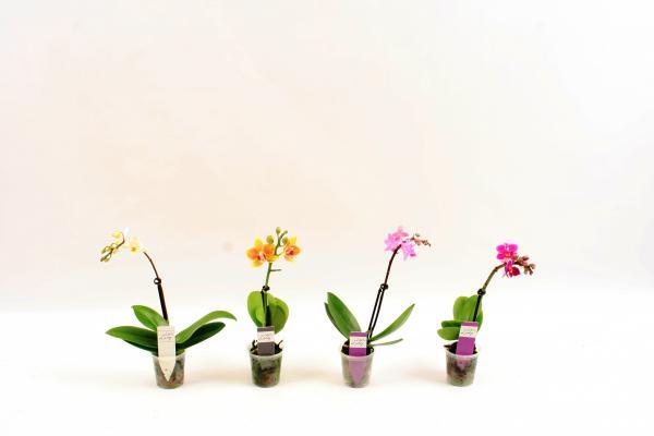 Орхидея Фаленопсис Little Lady mix