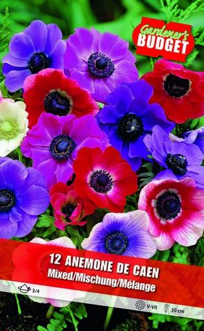 Anemone The Caen 3/4-  BG-866H_0022