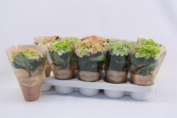 Хидрангеа микрофила ф9см, Н:15-20 см