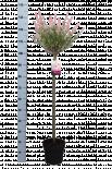 Саликс интегра 'Flamingo' ф21/Н:110-130см