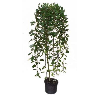 Мини върба Salix Pendula K5