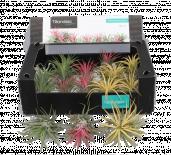 Тиландсия (въздушно растение) ф5см
