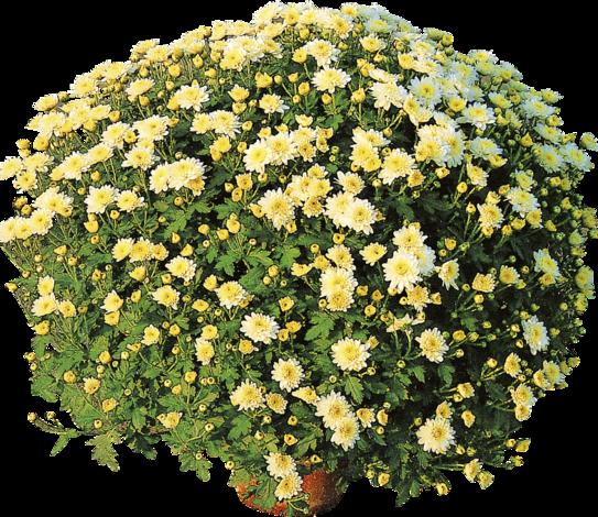 Хризантема мултифлора Ф:15см