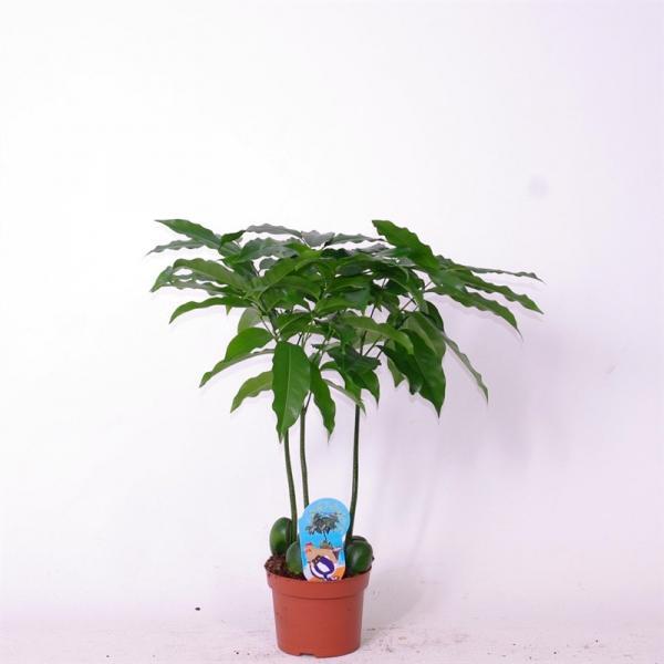 Палма Castano ф12/ H: 35-45 см