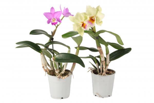 Орхидея Cattleya ф12, Н:40 см, 1 стебло, 2+ цвята