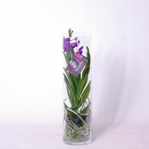 Ванда Н:50-55 см, микс цветове