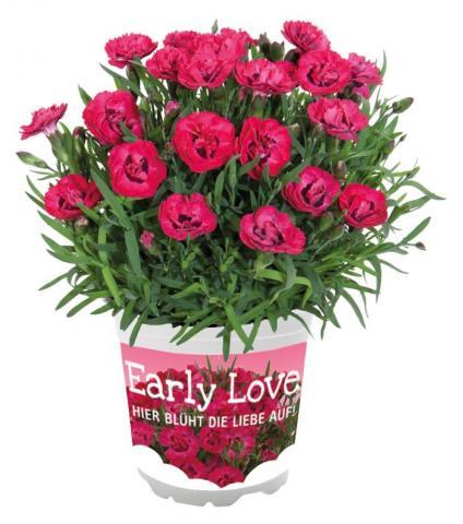 Диантус 'Early Love'