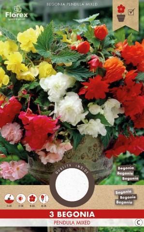 Луковици PURE Бегония Pendula различни цветове