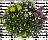 Хризантема Трио ф19 см