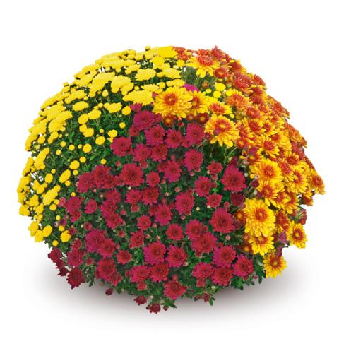 Хризантема мултифлора ф 19 см