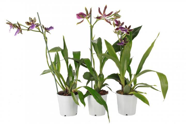 Зигопеталум (орхидея) ф12/Н:40-50 см