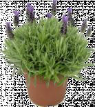 Многогодишни перенни растения