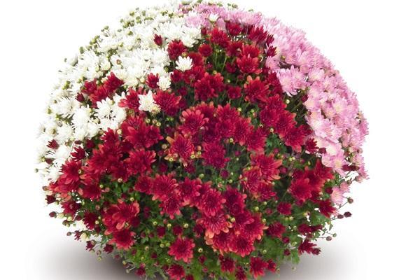 Хризантема мултифлора ф 19 см 2